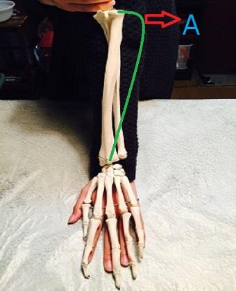 手と腕の骨格模型の画像